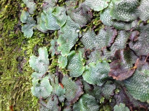 Reptilian Moss